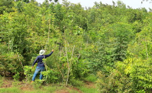 An 18-month-old forest at Shankarpalli in Telangana, in southern India, spread out over 40,000 square metres. About 120, 000 saplings were planted between June 2015 and December 2015. More than 40 species belong to the Potential Native Vegetation (PNV) of the region - Credits: Afforestt