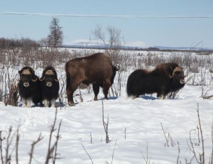 Bisons and musk ox live together in harmony in the Pleistocene Park - Credits: Pleistocene Park